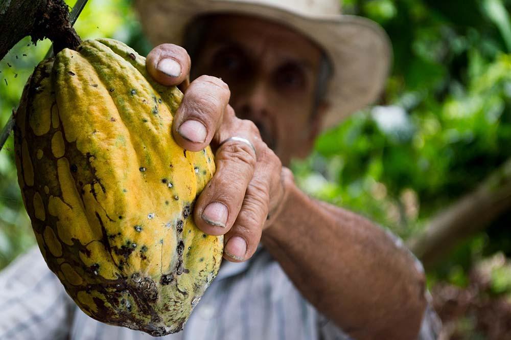 man picking cocoa bean