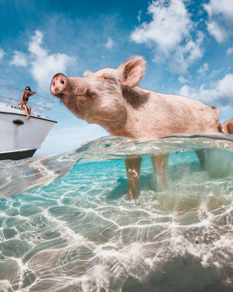 Swimming pig in the Exuma Islands